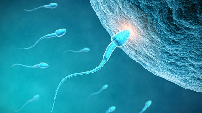 vremya-obnovleniya-spermatozoidov